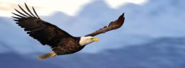US American bald eagle