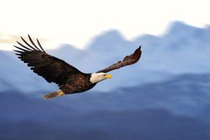 US American bald eagle